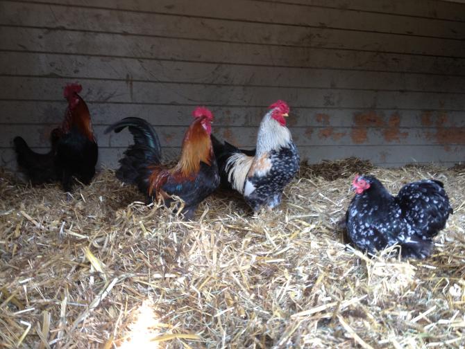 Over - Buitenplaats Elisabeth-kippen